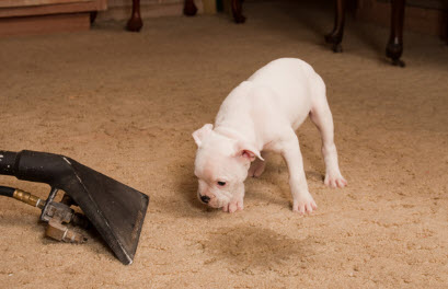 Pet-Stain-and-Odor-Removal-Services